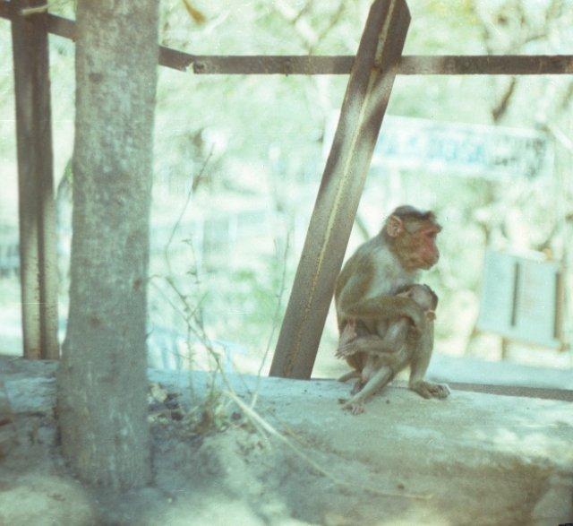 Мартышки на острове Элефанта, Индия