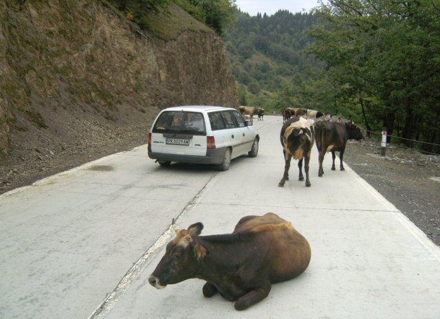 На Кавказе коровы есть везде