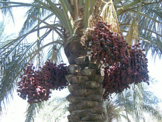 Походить по пальмовому лесу и поесть сладкую хурму с деревьев настоящее удовольствие
