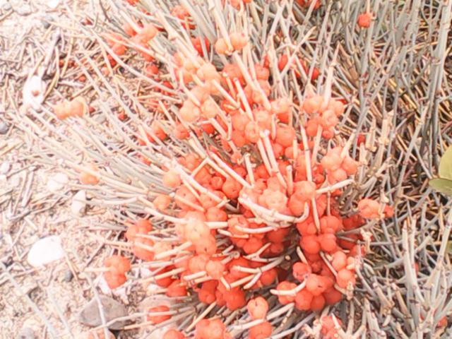 Растительность с красными ягодами