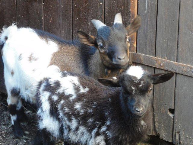 В отеле и козы есть! маленькие, декоративные