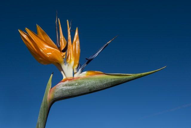 цветок стрелитция королевская