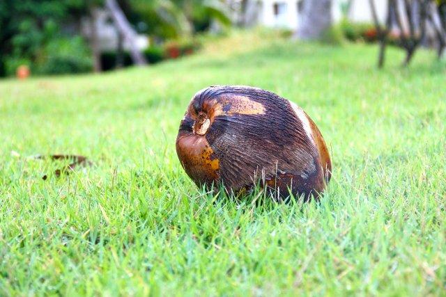 увидев на траве совсем маленький кокосик, жена сказала: посмотри какие здесь желуди большие. Мы потом долго смеялись.