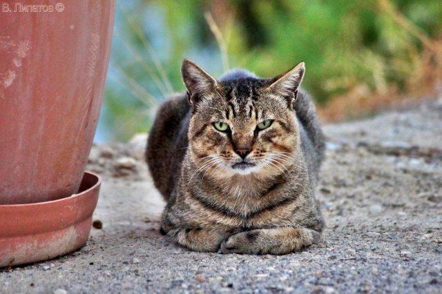 Критский котик