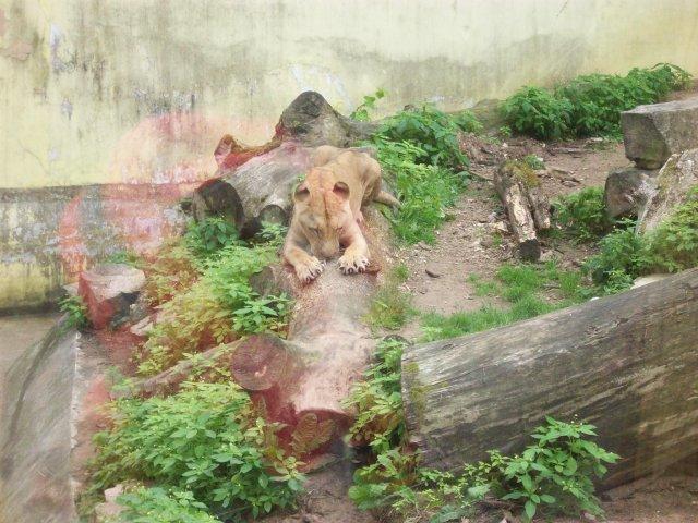 львица точит коготки, наводит маникюр