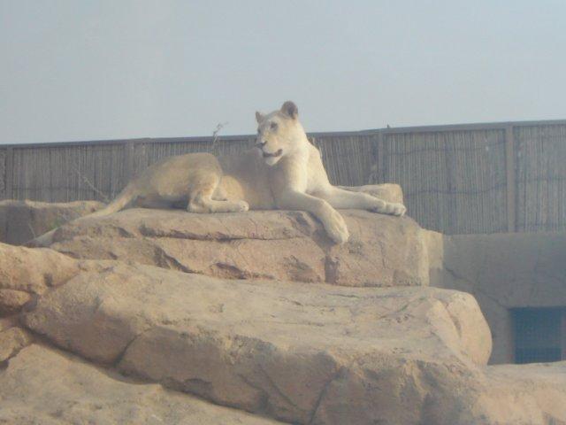 Львица.
