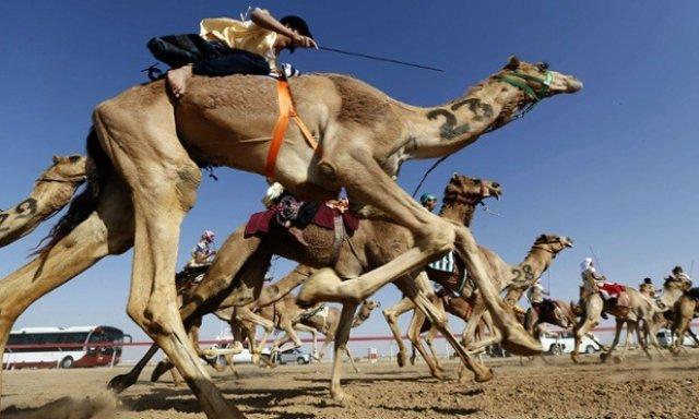 верблюжьи гонки с жокеями