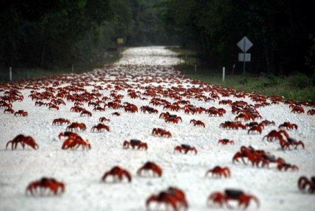 Миграции крабов, Куба