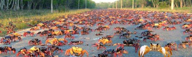 Крабы на дороге Национального Парка Сьенага-де-Сапата, Куба
