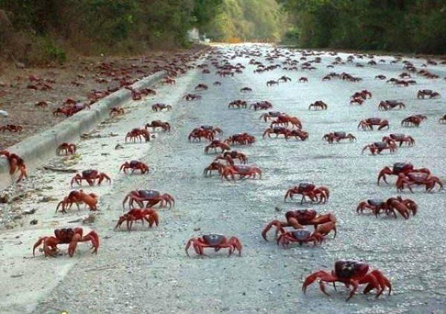 Миграция крабов, Куба