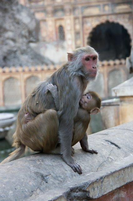 Храм обезьян, Джайпур, Индия