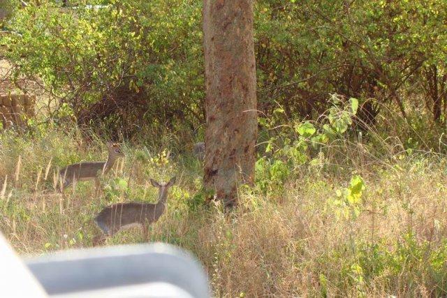Дик-дик-самая маленькая антилопа (Тсаво)