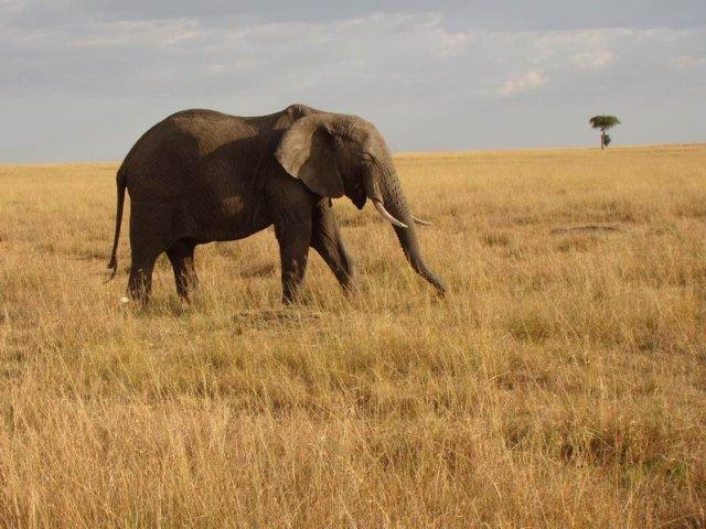 Слон (Масаи-Мара)