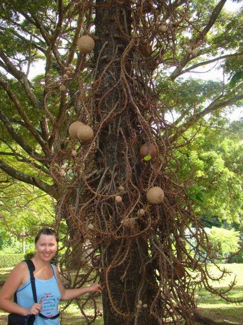 Курупита Гвианская (или дерево пушечных ядер)
