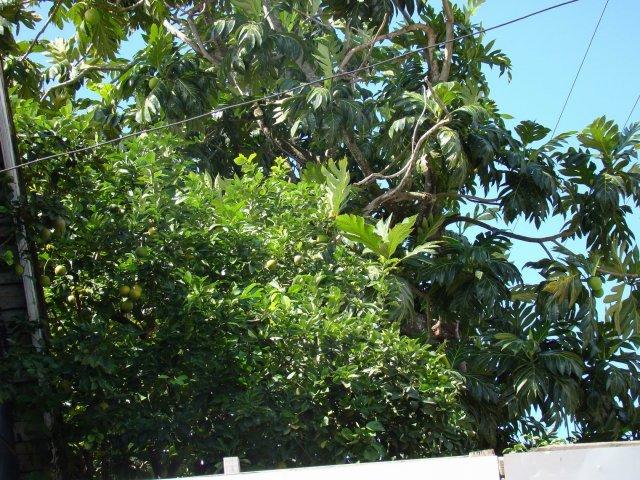 Лайм и хлебное дерево (с плодами)
