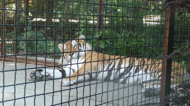 Тигр в крымском зоопарке