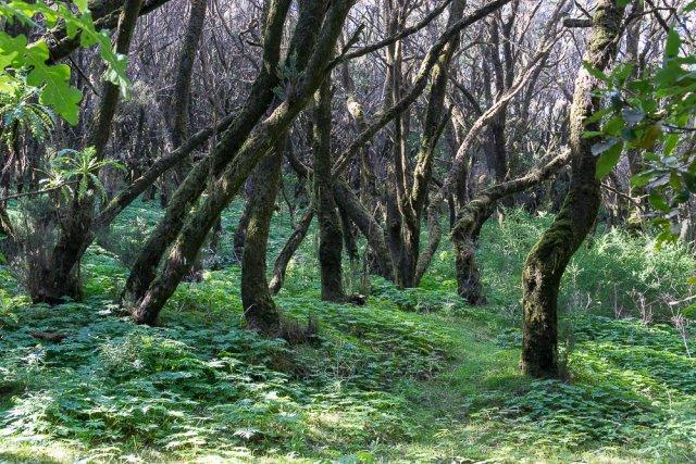 Национальный парк Гарахонай, Гомера