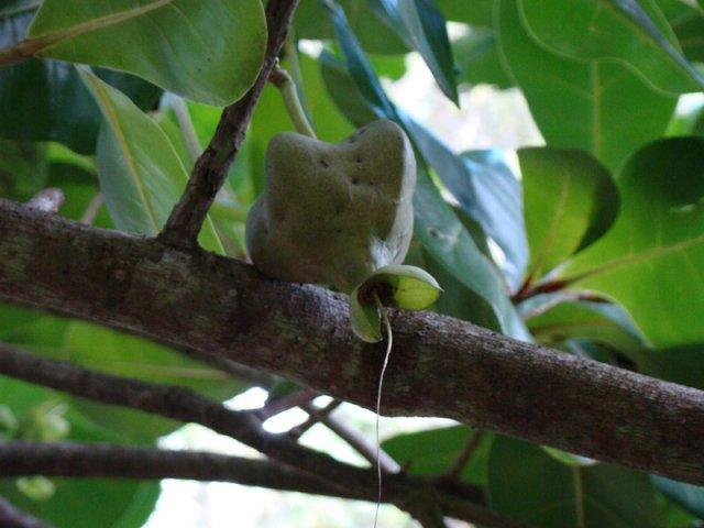 Плод баррингтонии азиатской