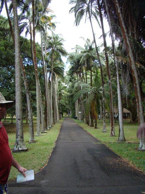 Аллея Пуавра, засаженная королевскими пальмами