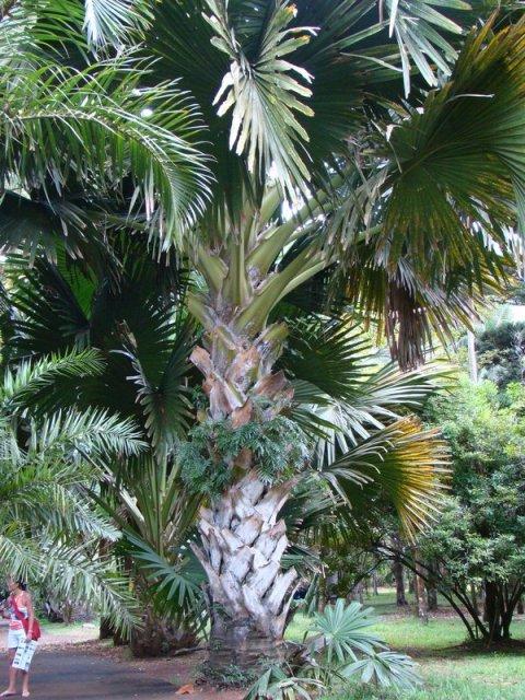 Огромная пальма Талипот