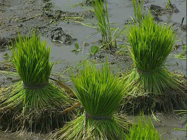 Рисовая рассада