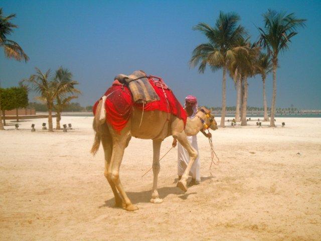 Верблюд, Абу-Даби, ОАЭ