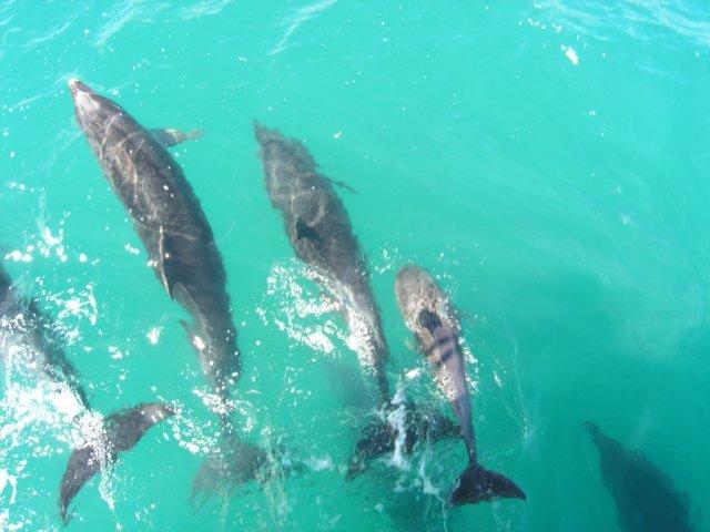 Дельфины в Бухте Островов, Новая Зеландия