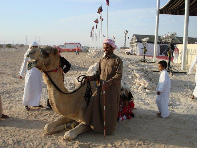 Шоу верблюдов в Катаре