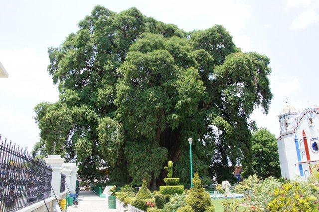 Очень большое дерево в городе Туле, Мексика