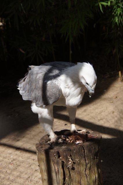 Орел разделывается с добычей, Австралия