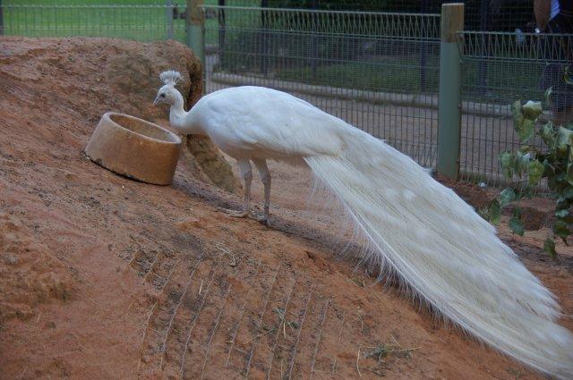 Белый павлин в зоопарке Wildlife, Австралия