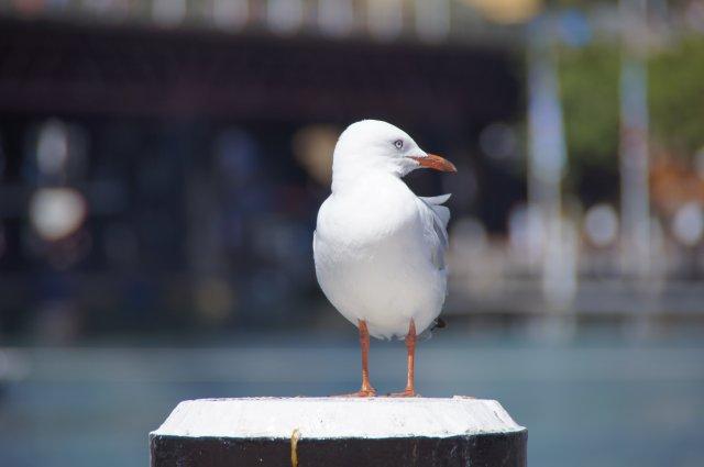 Чайка на набережной, Сидней