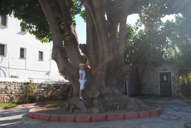 Дерево полое внутри
