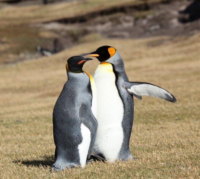 Королевские пингвины, Фолклендские острова