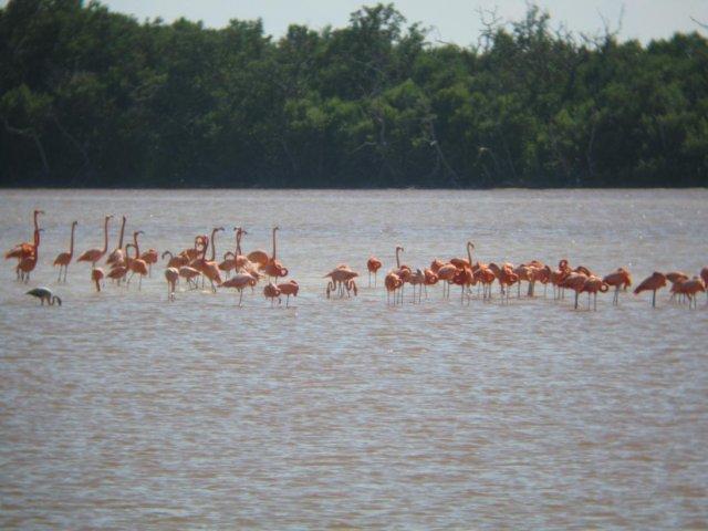 Фламинго, Селестун мангровый заказник, Мексика