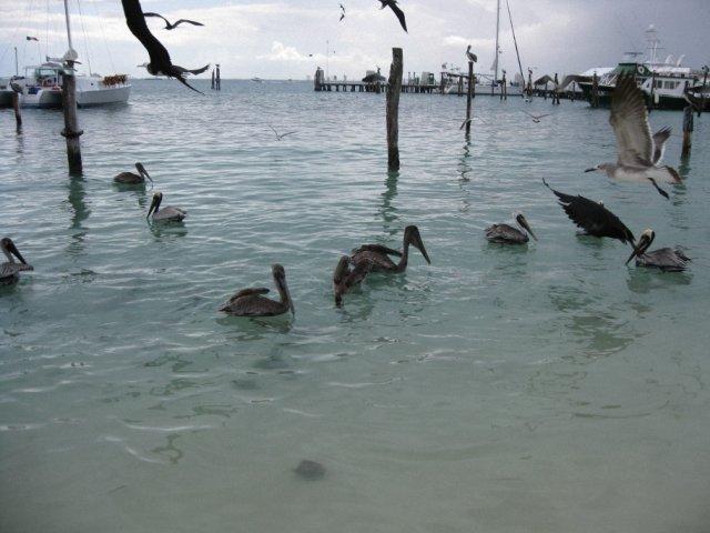 Пеликаны на острове Исла-Мухерес, Мексика