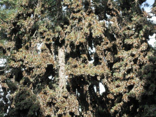 Деревья облеплены бабочками, Заповедник бабочек монархов, Мексика