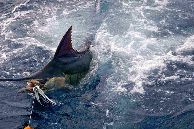 Голубой марлин, рыбалка на Ямайке
