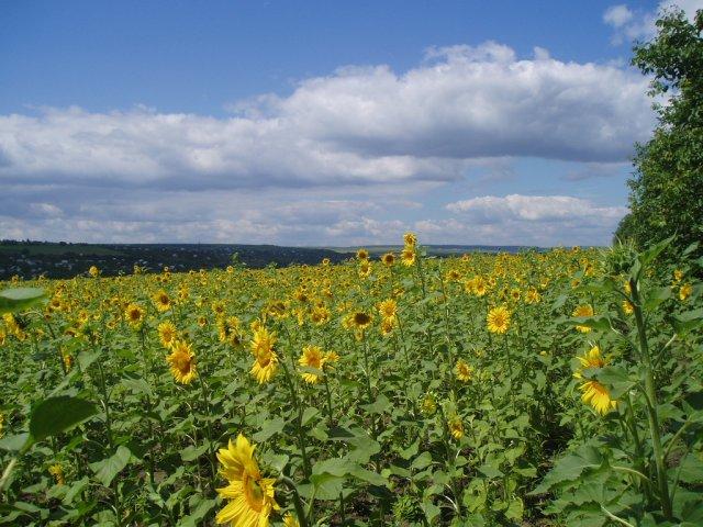 Подсолнечные поля, Молдова
