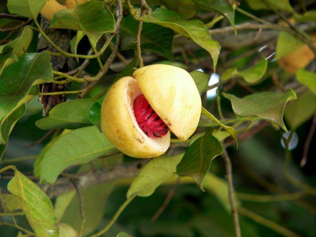 Мускатный орех, Гренада