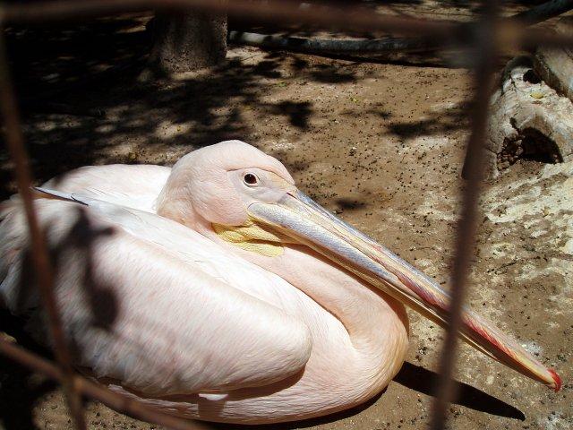 Розовый пеликан в мини-зоопарке Каппариса, Кипр