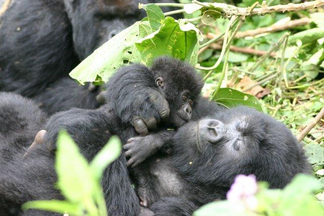 Горилла с детенышем в Национальном Парке Руанды