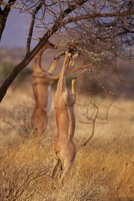 Национальный парк Самбуру, Кения