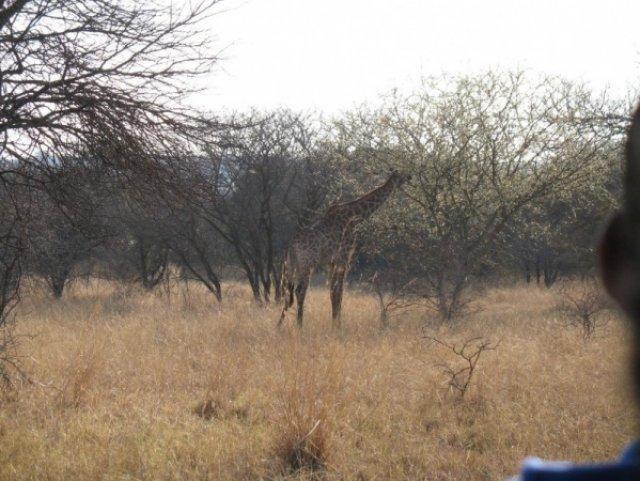 Жираф в буше