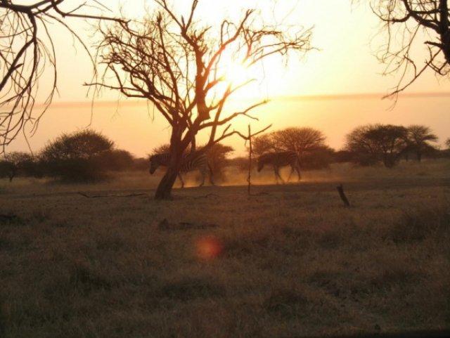 Зебра с зебренком