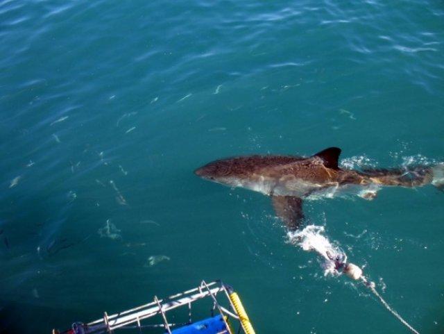 Вот и приплыла первая акулка
