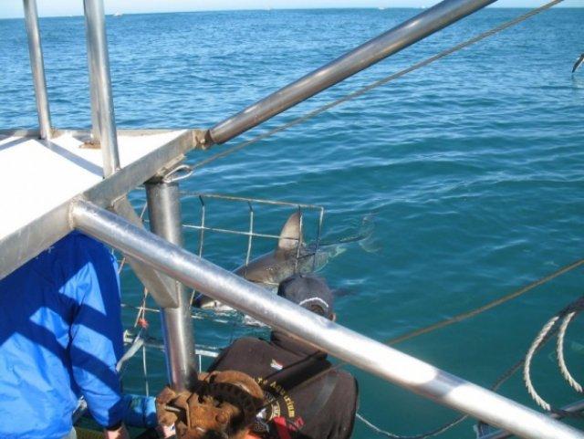 Акула наблюдает нас сидящих в клетке и думает кто из нас пожирнее