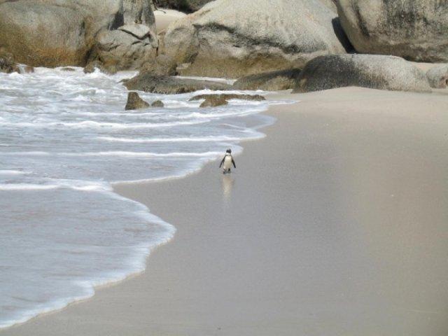 Робкий пингвин не прячет тело жирое в утесах, а напротив, вышагивает