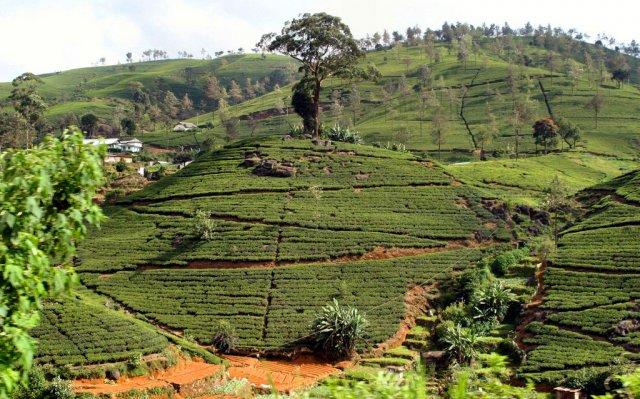 Высокогорная чайная плантация Нувара Элия, Шри-Ланка