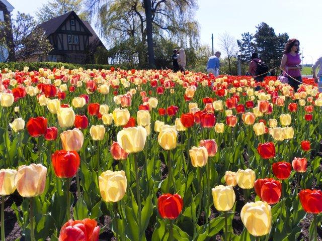 Фестиваль Тюльпанов, Канада